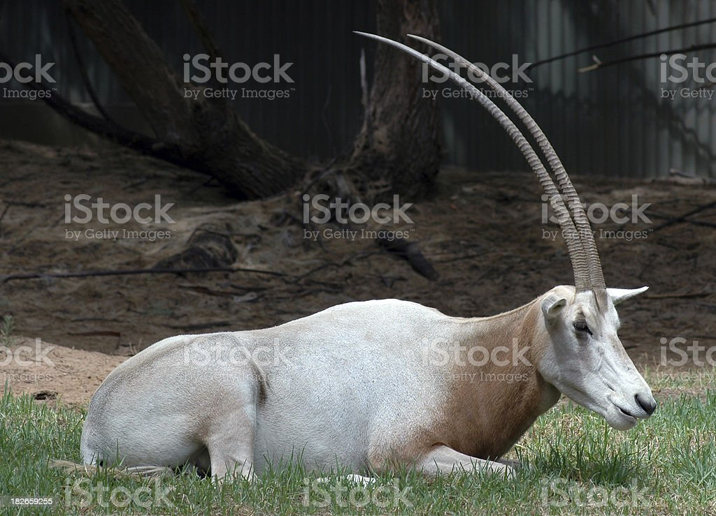 Scimitar Horned Oryx stock photo