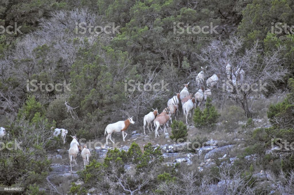 Scimitar Oryx Climbing stock photo