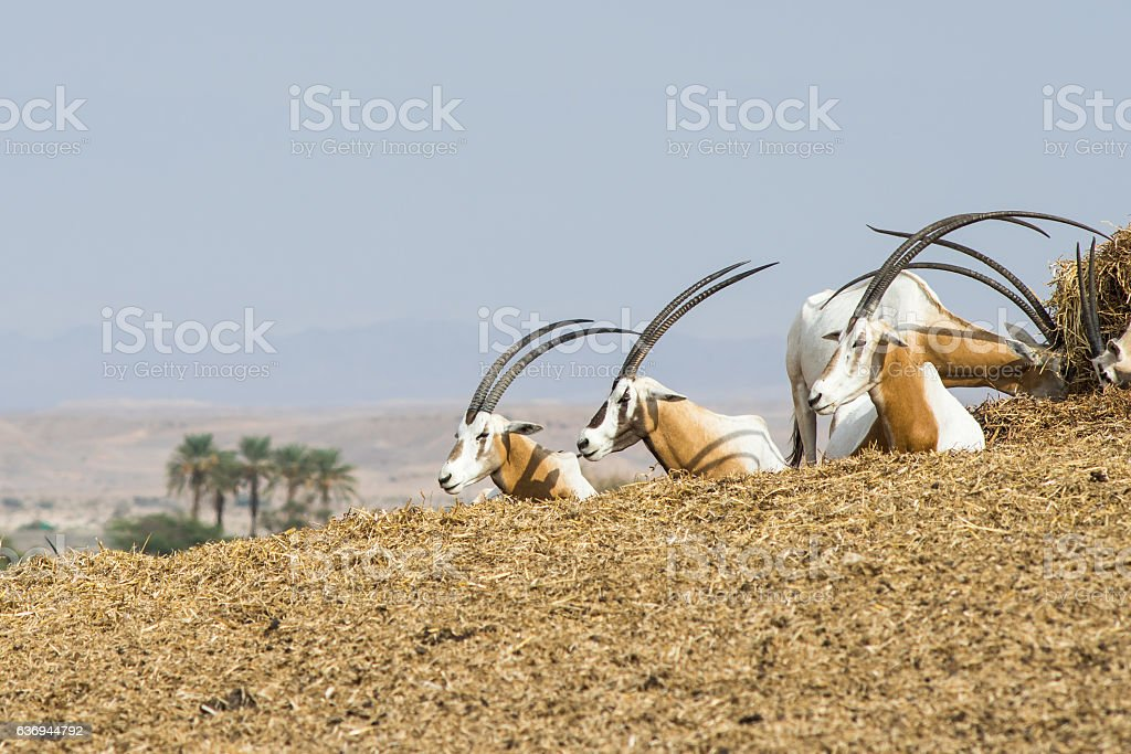Scimitar oryx  dammah stock photo