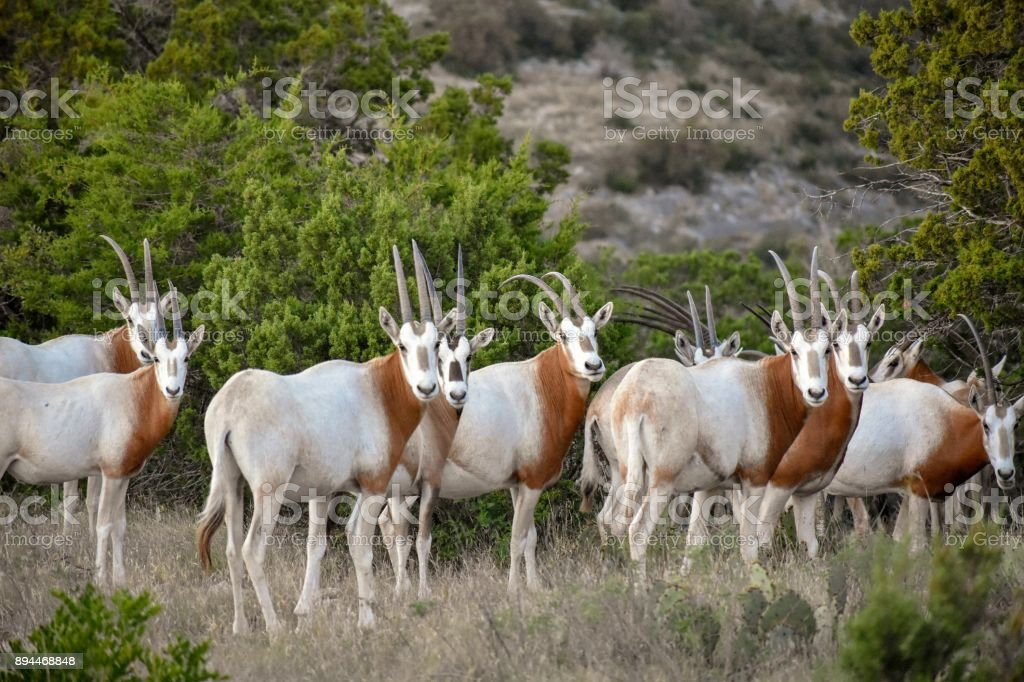 Scimitar Oryx Herd stock photo