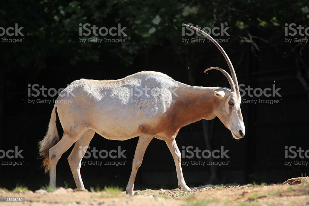 Scimitar oryx (Oryx dammah) stock photo