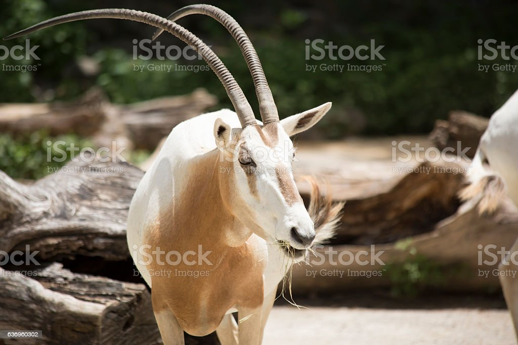 Scimitar Oryx stock photo