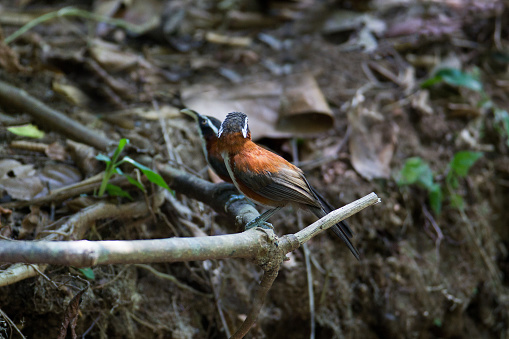 Beautiful a couple a adult Chestnut-backed scimitar babbler or Javan scimitar babbler, low angle view, side shot, in the morning perching on the curve vine in the nature of tropical moist rainforest, in wildlife sanctuary of southern Thailand.