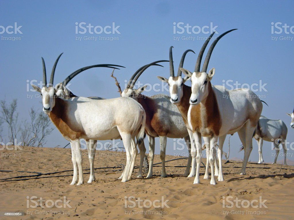 Scimitar-horned oryx in Arasbian dessert stock photo