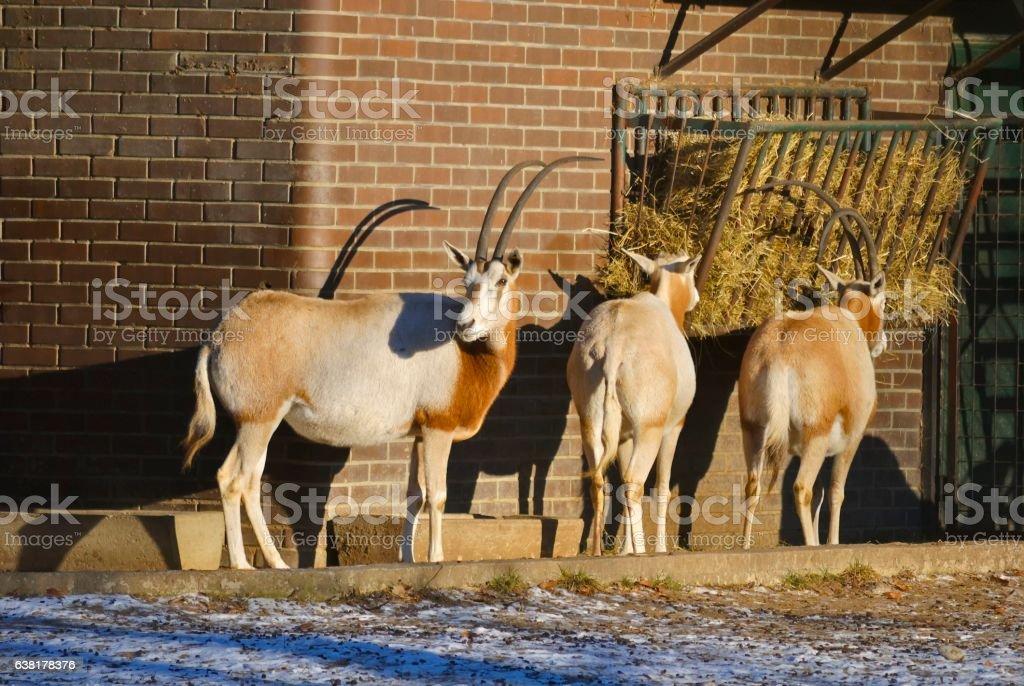 Scimitar-horned oryx, or Oryx dammah. stock photo