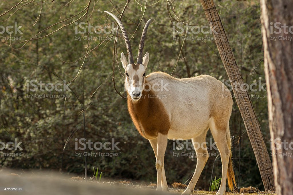 Scimitar-Horned Oryx stock photo