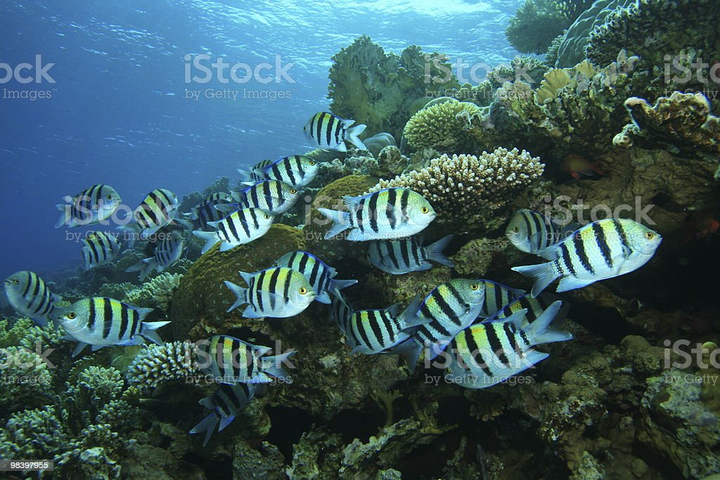 Scissortail Sergeants on coral reef royalty-free stock photo