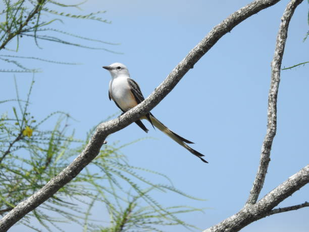 Scissor-tailed flycatcher framed by tree branches stock photo