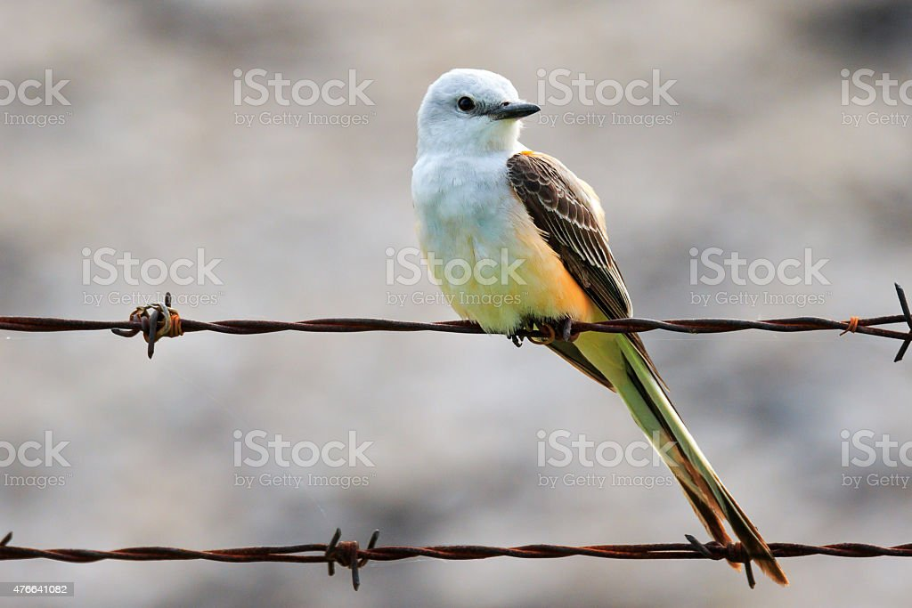Scissor-tailed Flycatcher stock photo
