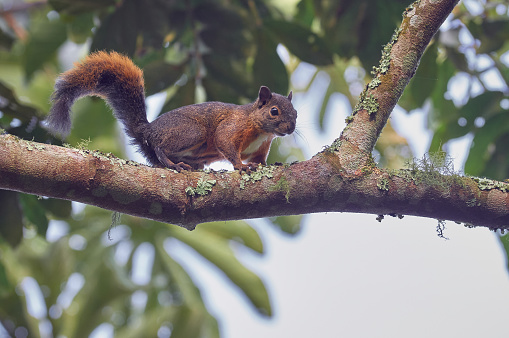Curious brown squirrel climbing among the trees