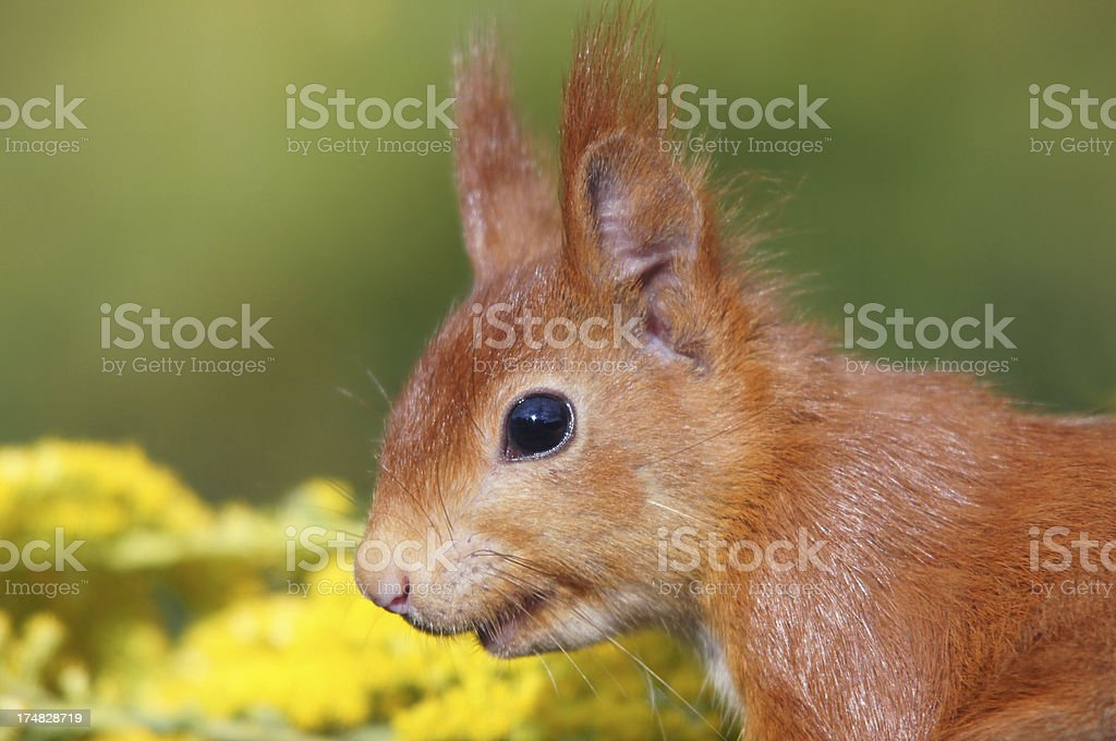 Sciurus vulgaris royalty-free stock photo