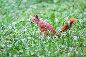 istock Sciurus vulgaris. Red Squirrel in the green grass 821803790