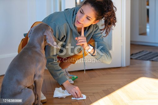Weimaraner puppy being punished for peeing at home by his owner, they are both quaraneted during covid-19 outbreak