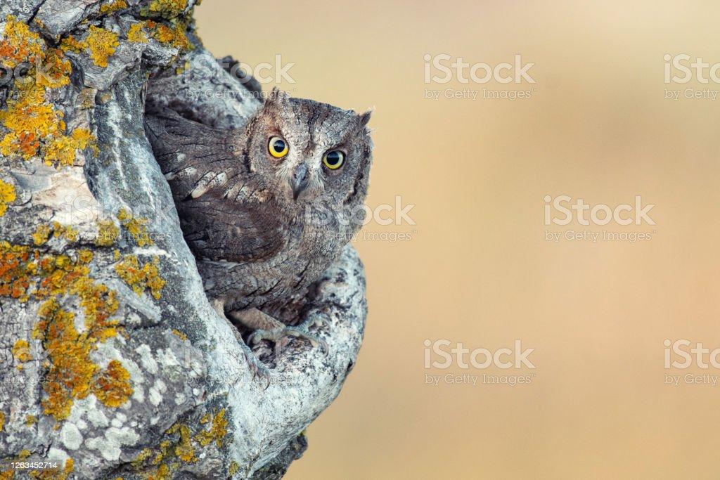 Scops Owl looking out of nesthole. Otus scops Scops Owl looking out of nesthole. Otus scops. Animal Stock Photo