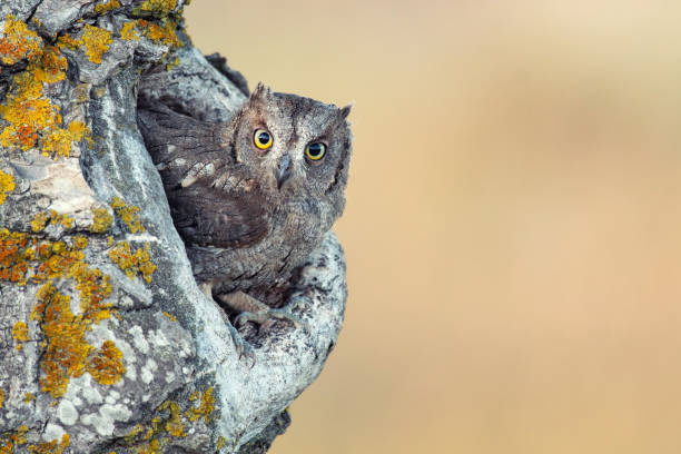 Scops Owl looking out of nesthole. Otus scops stock photo