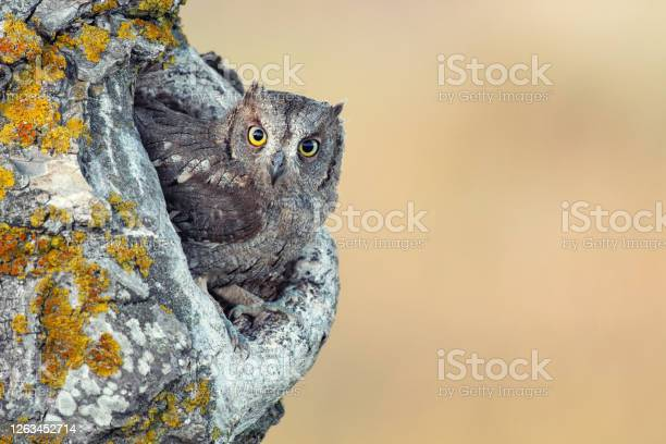 Scops Owl Looking Out Of Nesthole Otus Scops Stock Photo - Download Image Now