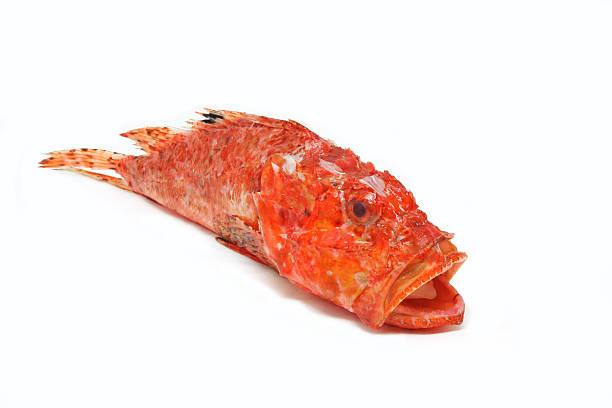 Scorpaena Scrofa,Scorpion fish prepaired for cooking stock photo