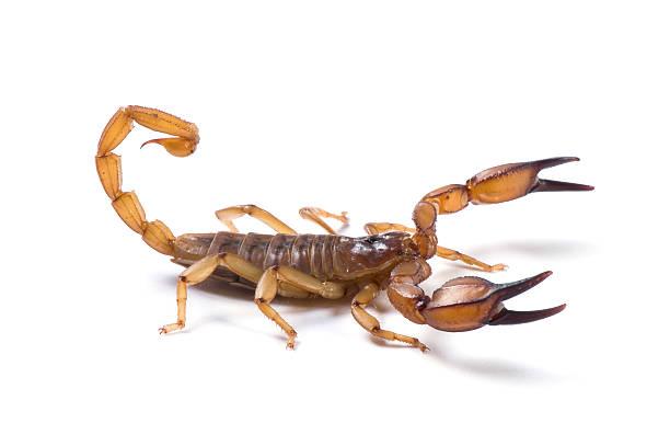 scorpian immer bereit zum schuss auf weißem hintergrund. - skorpion stock-fotos und bilder
