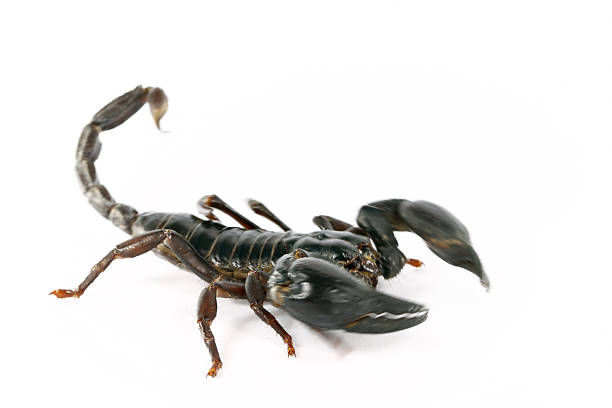 Scorpion attack stock photo