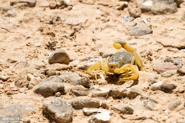 Scorpion deathstalker from the Negev desert seeking refuge (Leiurus quinquestriatus) Scorpion deathstalker from the Negev desert seeking refuge (Leiurus quinquestriatus) Animal Stock Photo