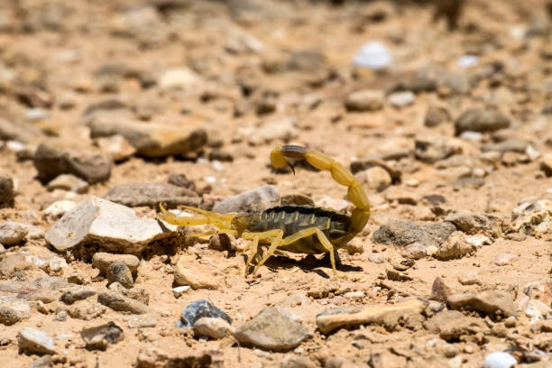 Scorpion deathstalker from the Negev desert took a defensive stance (Leiurus quinquestriatus) Scorpion deathstalker from the Negev desert took a defensive stance (Leiurus quinquestriatus) buthidae stock pictures, royalty-free photos & images