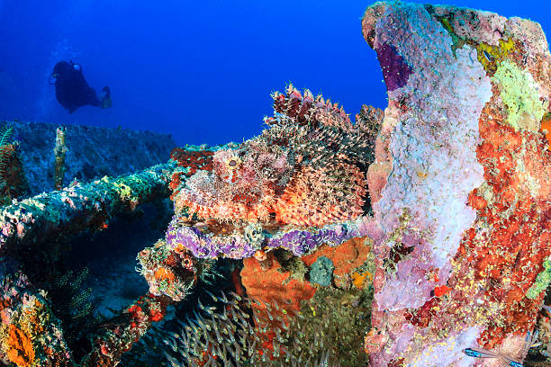 scorpion fish camouflaged on metal wreckage - wreck diving stock pictures, royalty-free photos & images