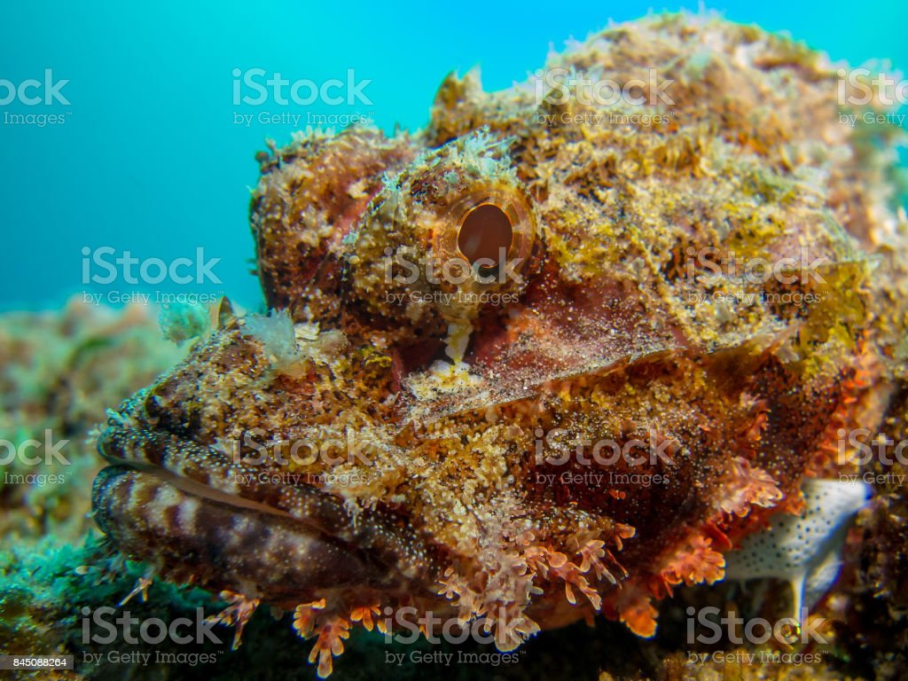 Scorpion Fish close up shot of face underwater stock photo