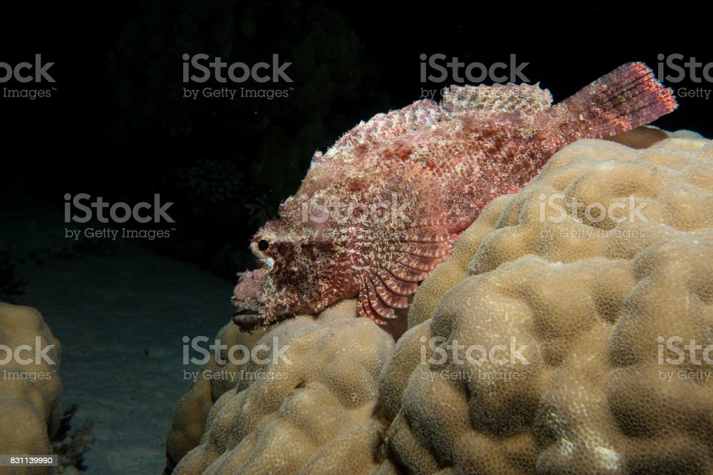 scorpion fish in the red sea stock photo