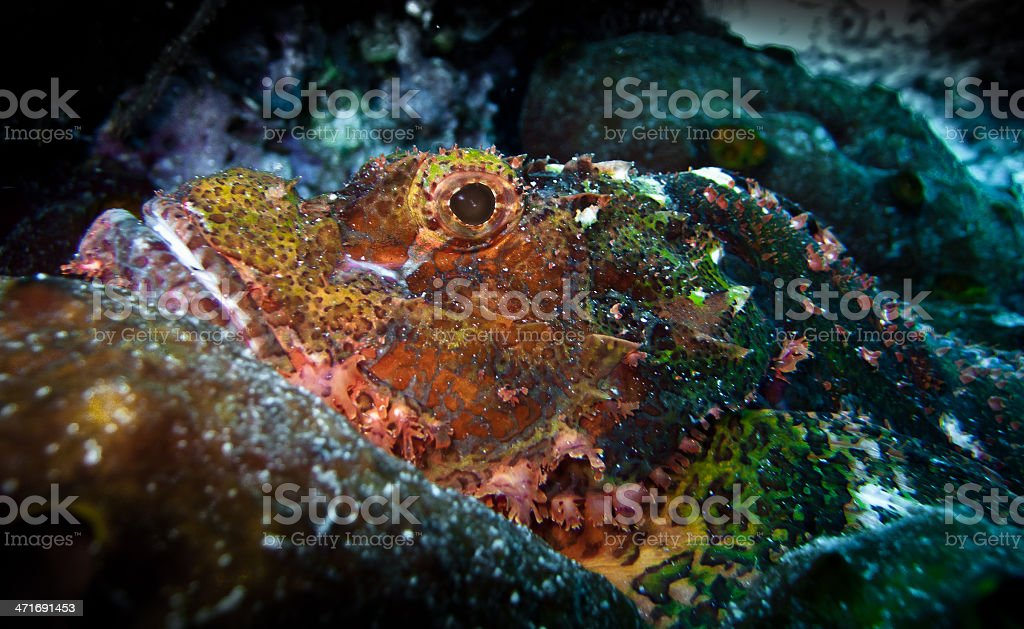 Scorpion fish royalty-free stock photo