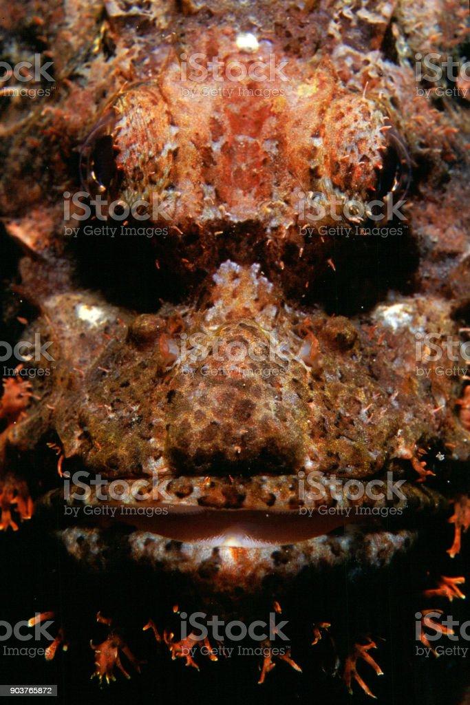 Peixe-escorpião - foto de acervo