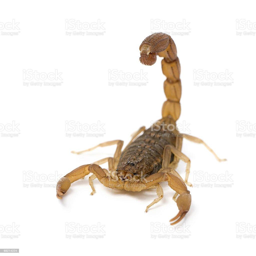 Scorpion - Hottentotta stock photo