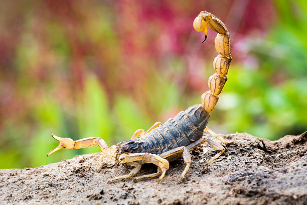 scorpion in attack position - scorpion stock photos and pictures
