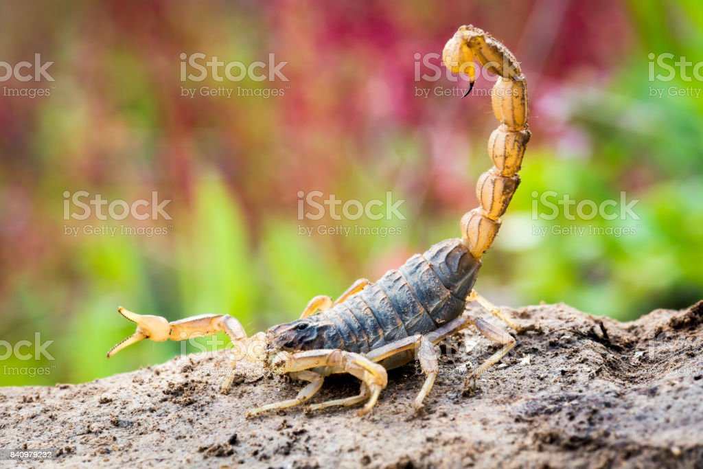 Scorpion in attack position stock photo