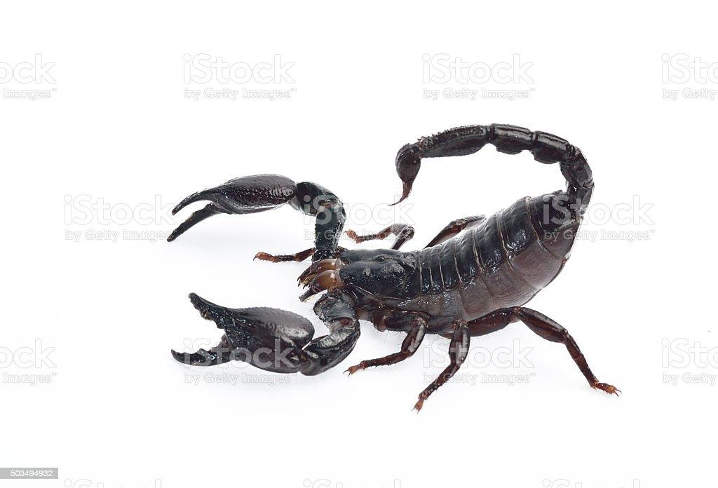 Scorpion isolated on white background stock photo