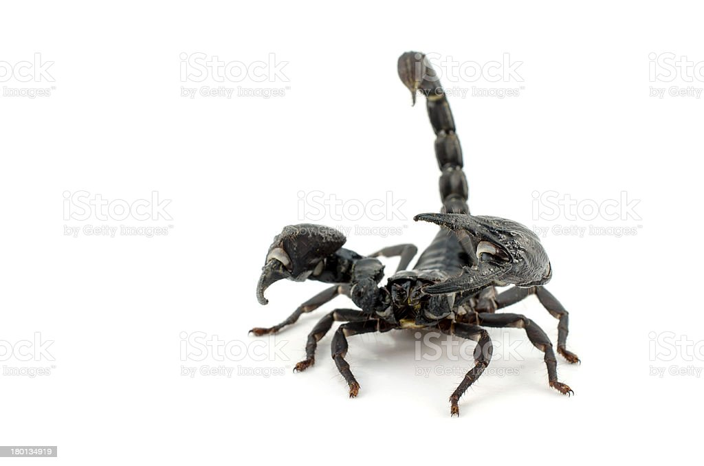 Scorpion - isolated on white stock photo