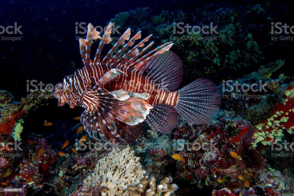 Scorpion Lion fish portrait while diving indonesia stock photo