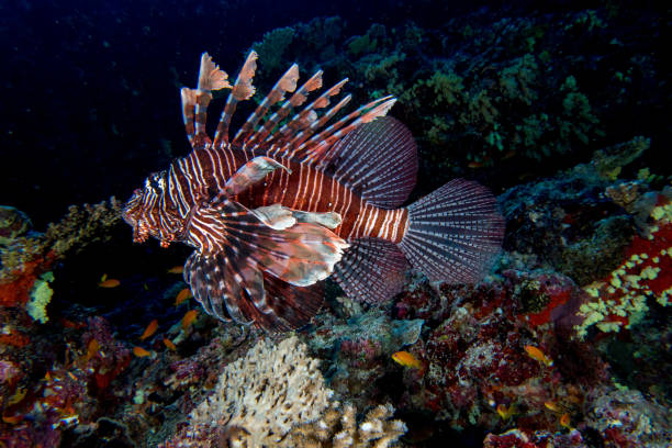 scorpion lion fish portrait while diving indonesia - lionfish stock photos and pictures