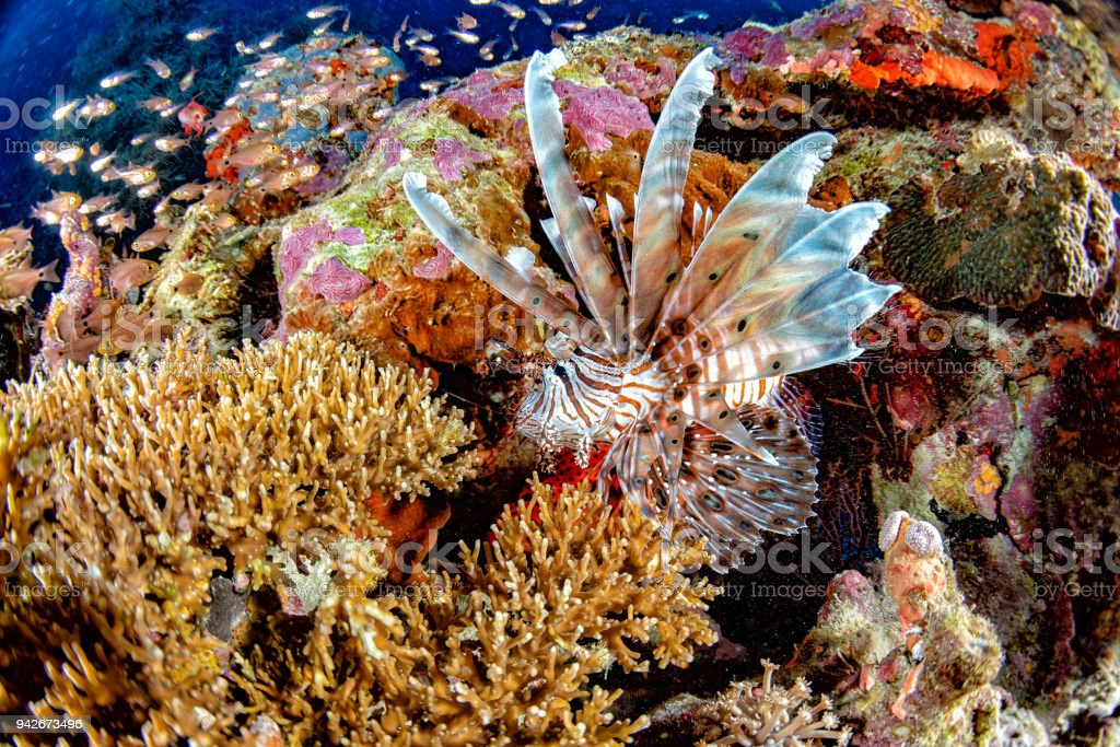 Scorpion Lion fish portrait while diving indonesia stock photo