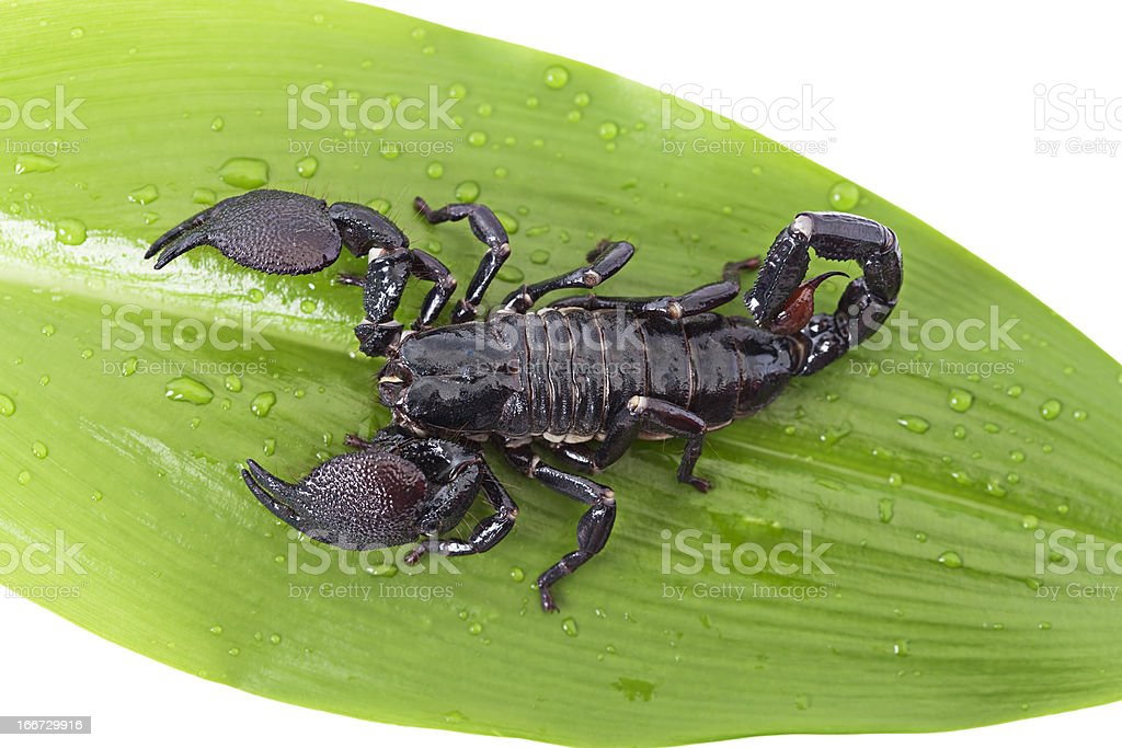 Scorpion on a green leaf royalty-free stock photo