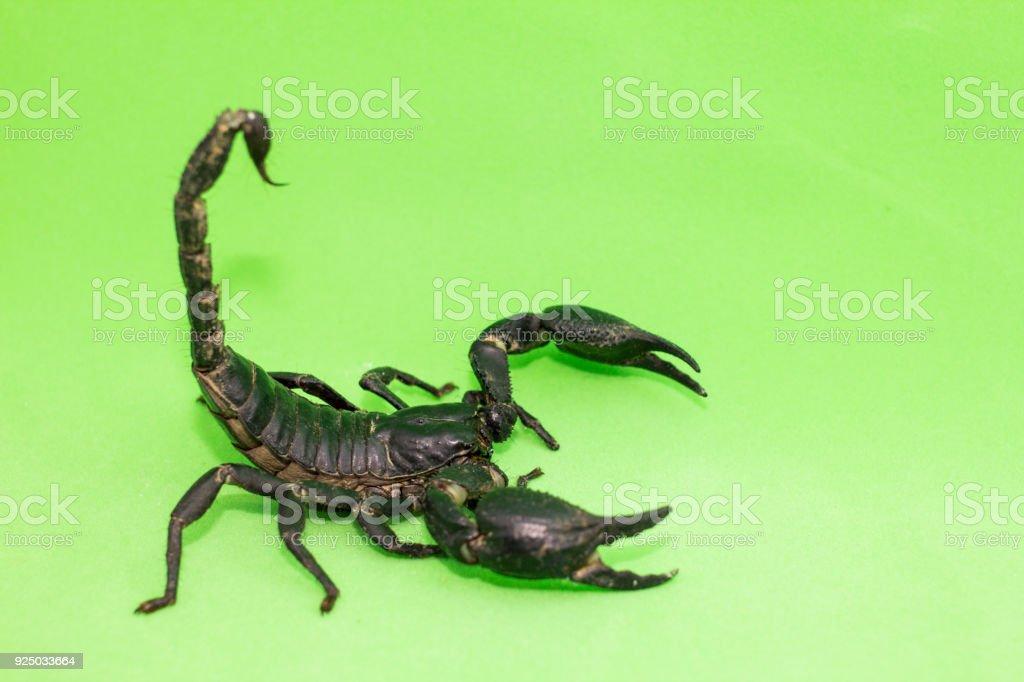 Fotografía de Escorpión En Fondo Verde y más banco de imágenes de ...
