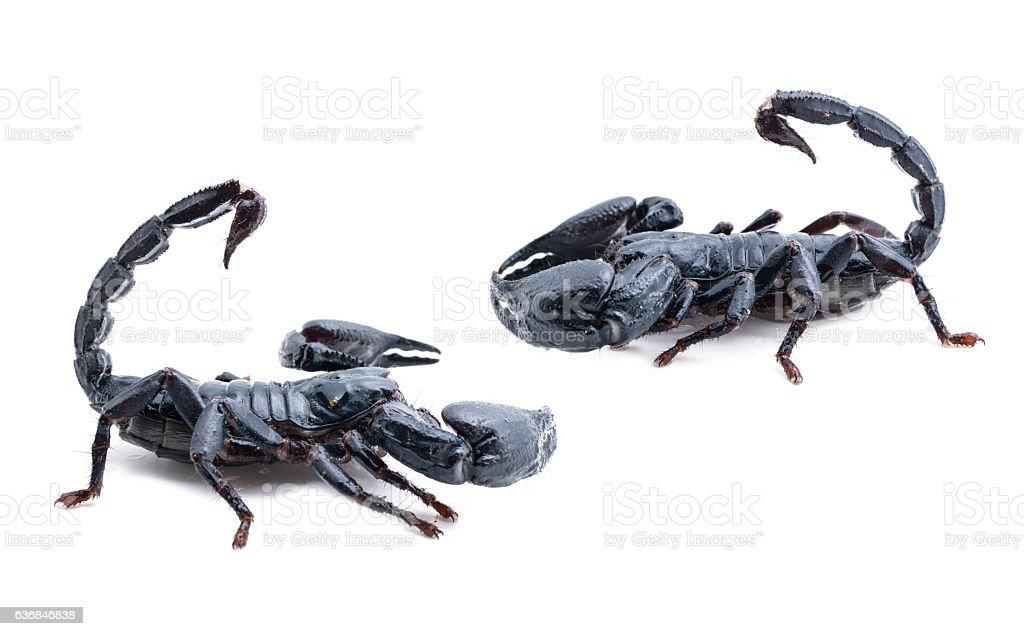 scorpion on white background. stock photo