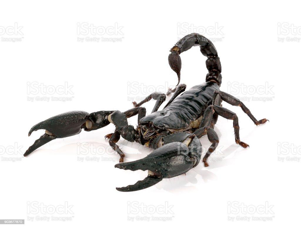 scorpion on white background stock photo