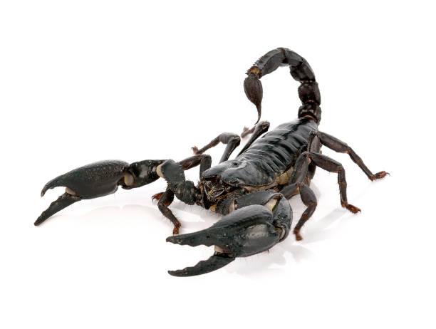 skorpion auf weißem hintergrund - skorpion stock-fotos und bilder