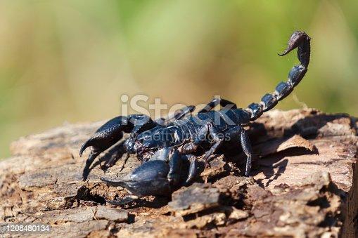 scorpion on wood blur green background