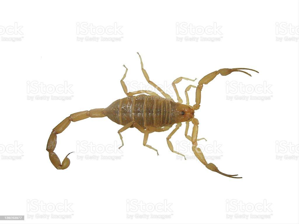 Scorpion royalty-free stock photo