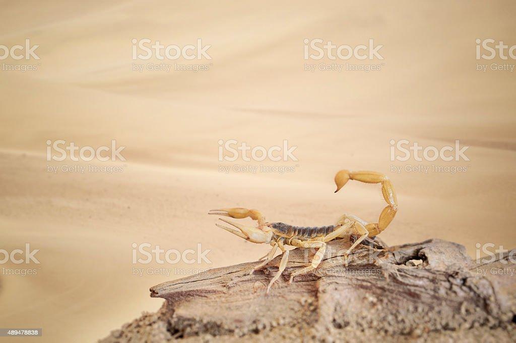Scorpion stock photo