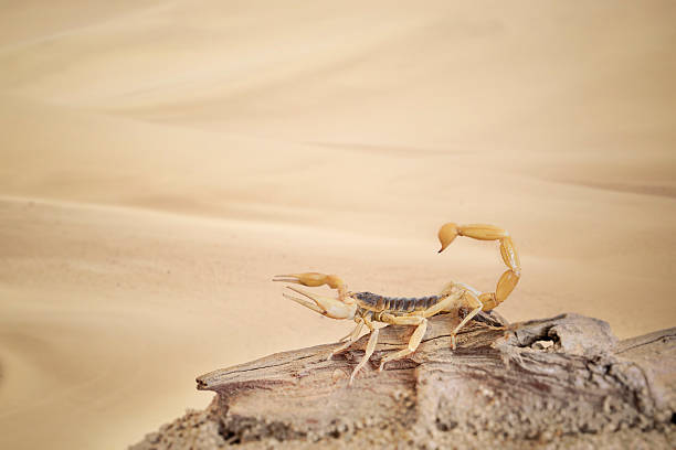 scorpion - scorpion stock photos and pictures