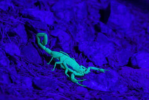 skorpion - skorpion stock-fotos und bilder