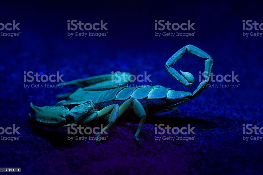 Scorpion Sting stock photo
