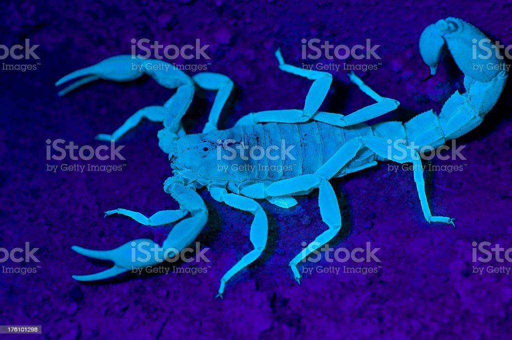 "Scorpion under UV light ""A closeup of a scorpion glowing under s UV light in Tucson, AZ"" Animal Stock Photo"